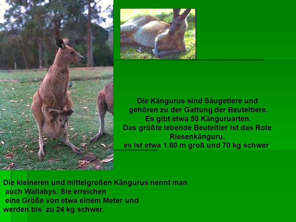 Die Kängurus sind Säugetiere und
