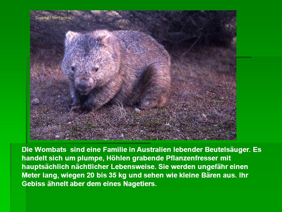 Die Wombats sind eine Familie in Australien lebender Beutelsäuger