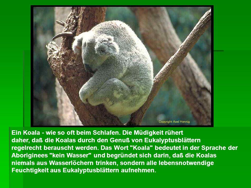 Ein Koala - wie so oft beim Schlafen