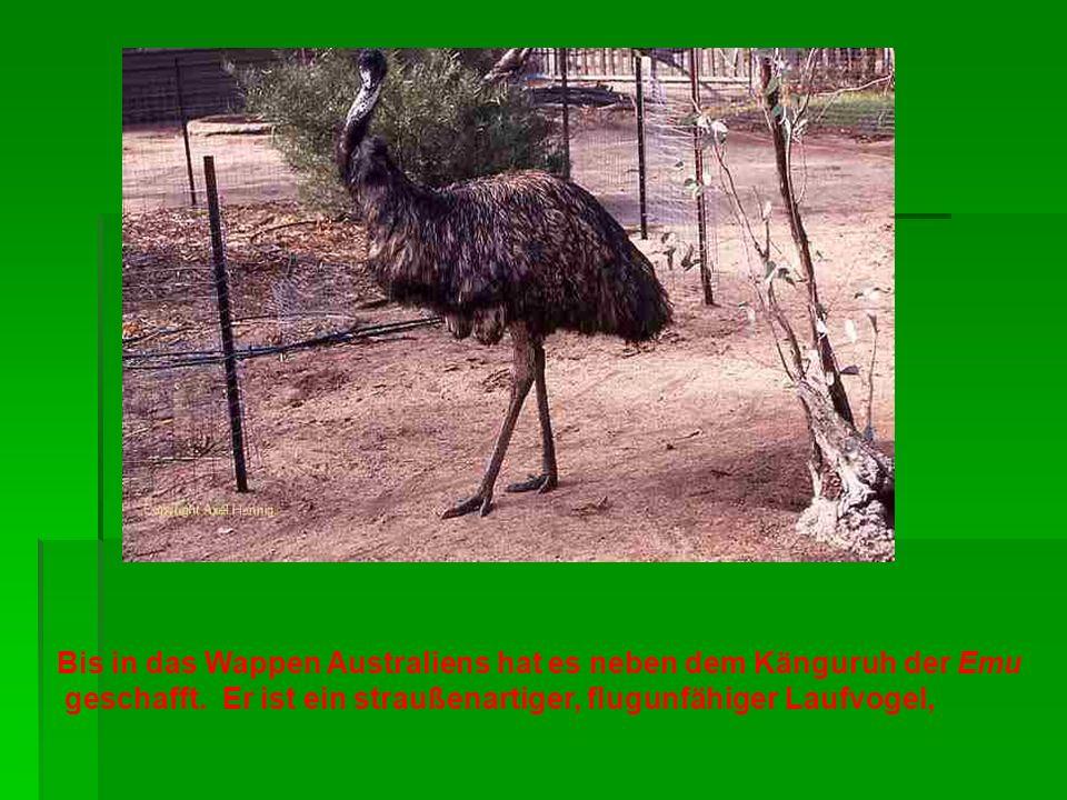Bis in das Wappen Australiens hat es neben dem Känguruh der Emu