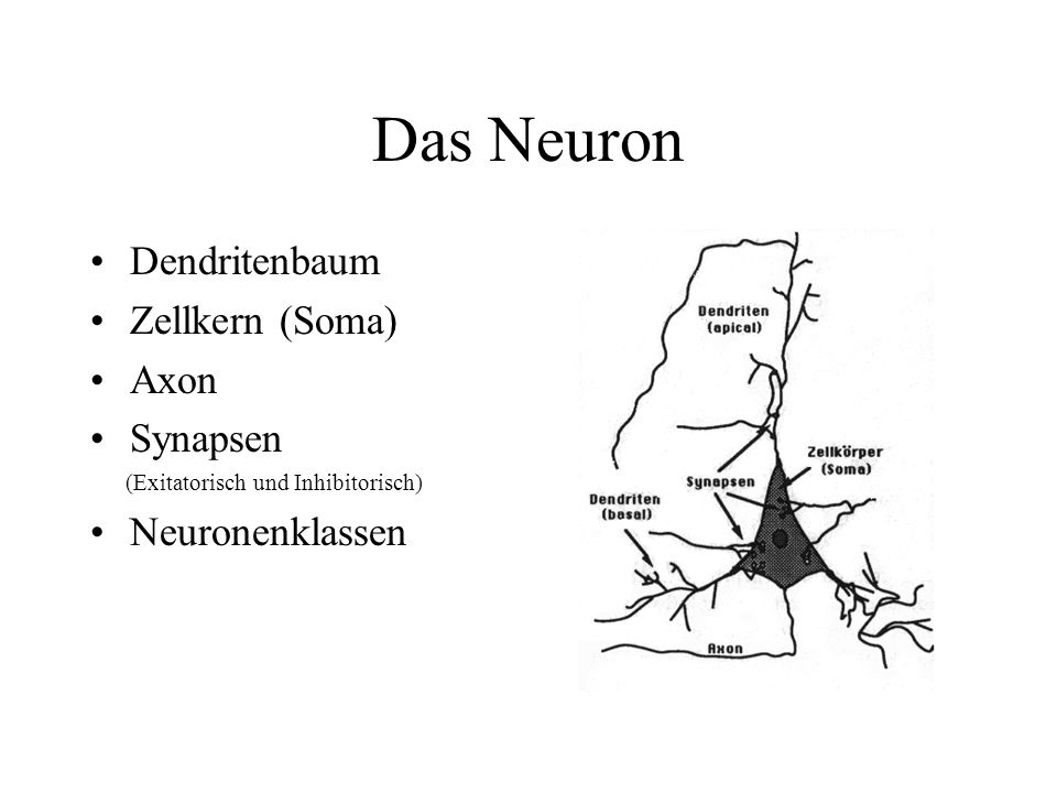 Das Neuron Dendritenbaum Zellkern (Soma) Axon Synapsen Neuronenklassen