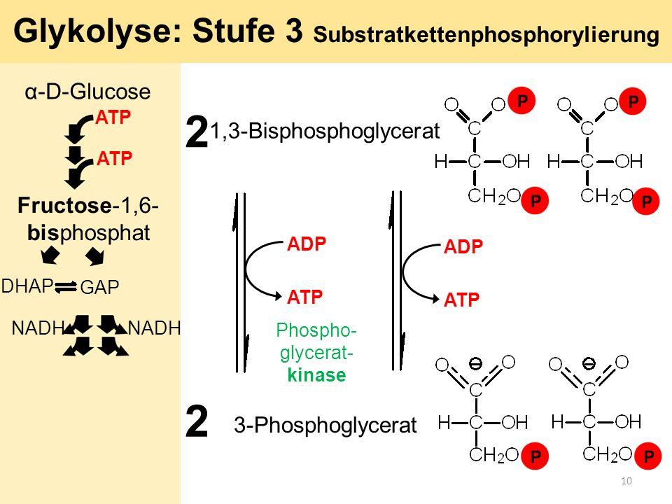 Glykolyse: Stufe 3 Substratkettenphosphorylierung