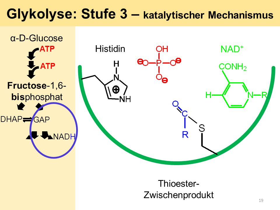 Glykolyse: Stufe 3 – katalytischer Mechanismus