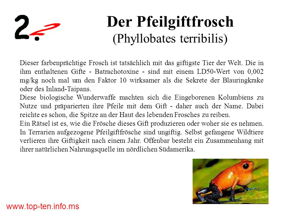 Der Pfeilgiftfrosch (Phyllobates terribilis)