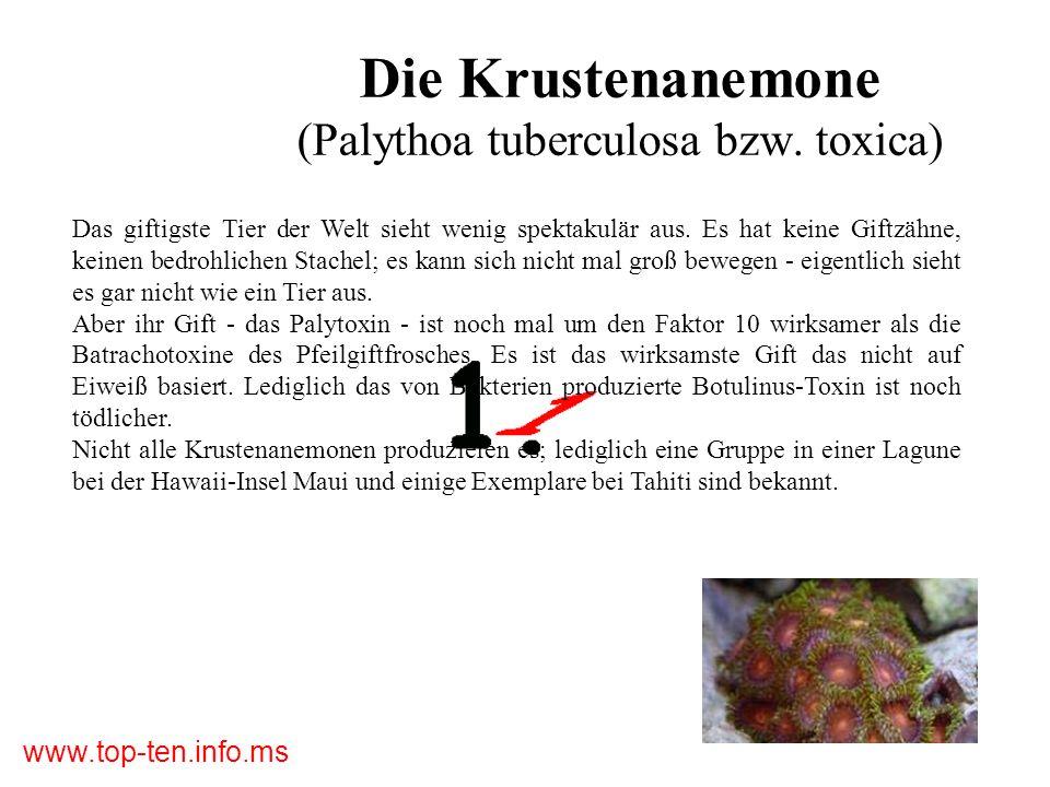 Die Krustenanemone (Palythoa tuberculosa bzw. toxica)