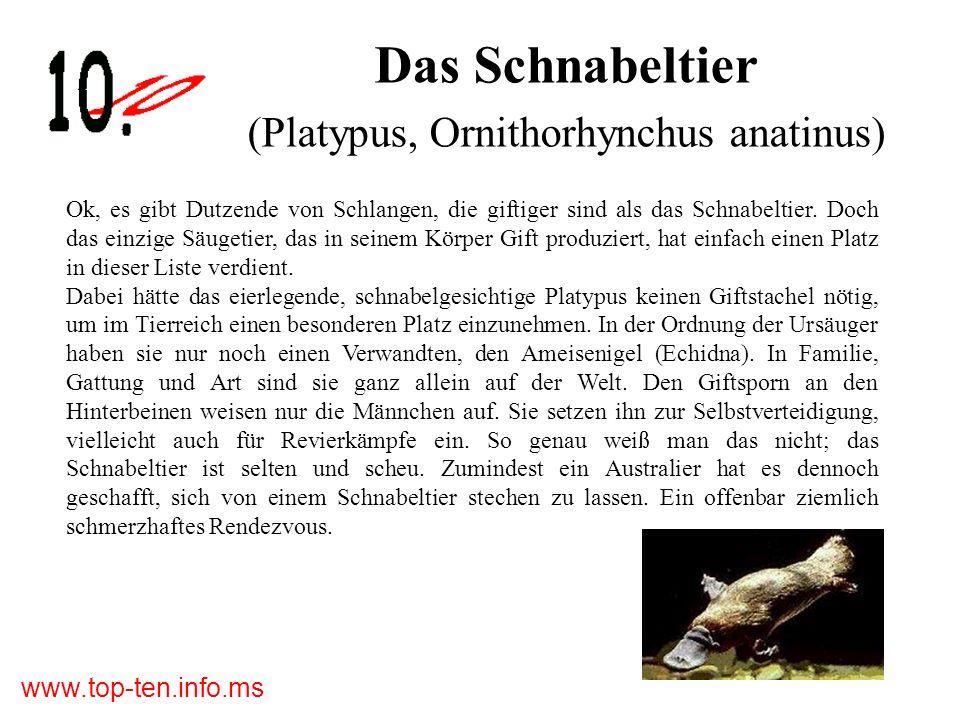 Das Schnabeltier (Platypus, Ornithorhynchus anatinus)