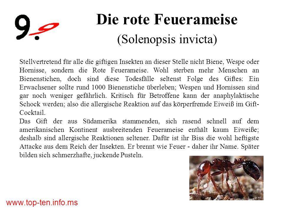 Die rote Feuerameise (Solenopsis invicta)