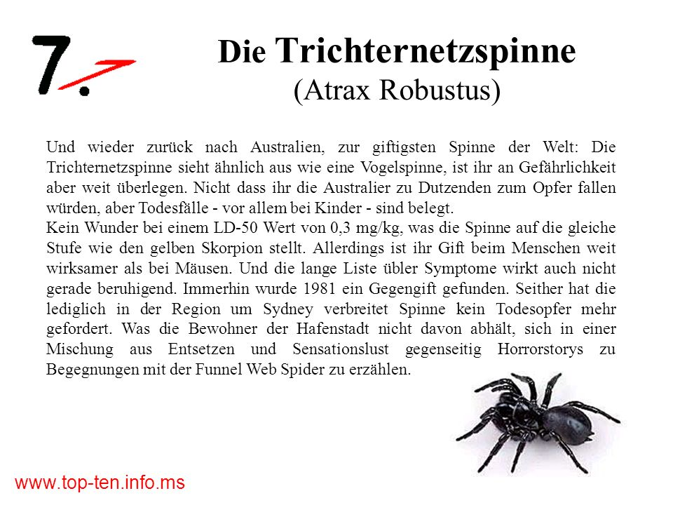 Die Trichternetzspinne (Atrax Robustus)