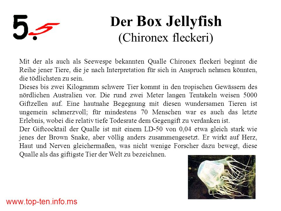 Der Box Jellyfish (Chironex fleckeri)