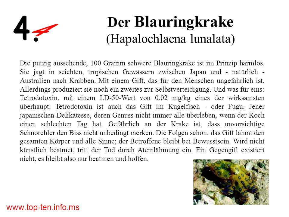 Der Blauringkrake (Hapalochlaena lunalata)
