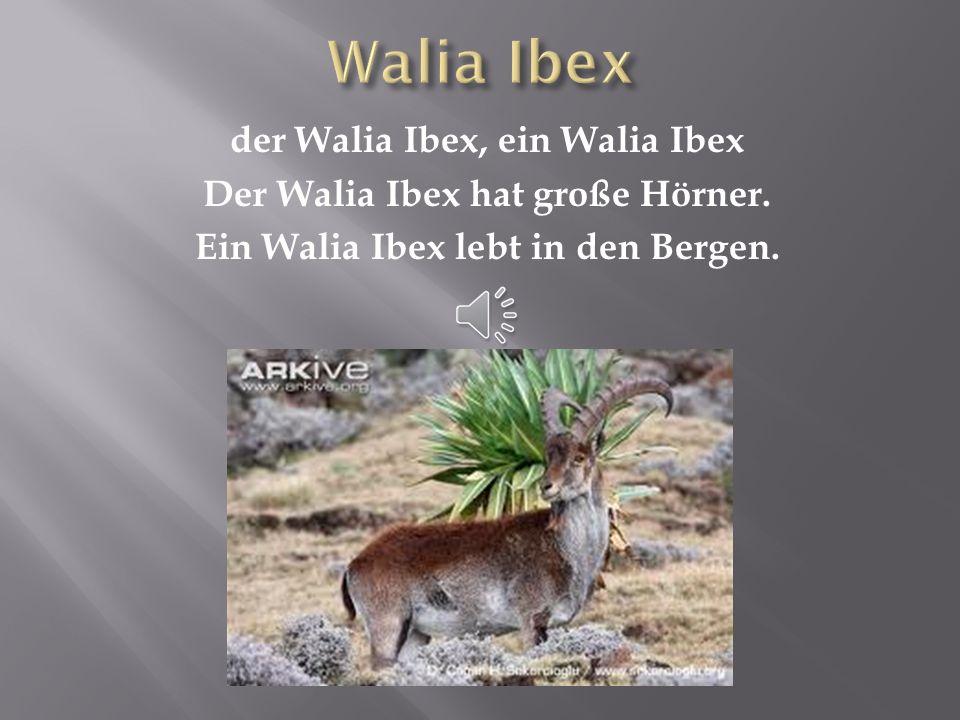 Walia Ibex der Walia Ibex, ein Walia Ibex Der Walia Ibex hat große Hörner.