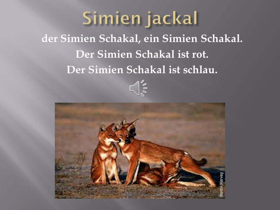 Simien jackal der Simien Schakal, ein Simien Schakal.