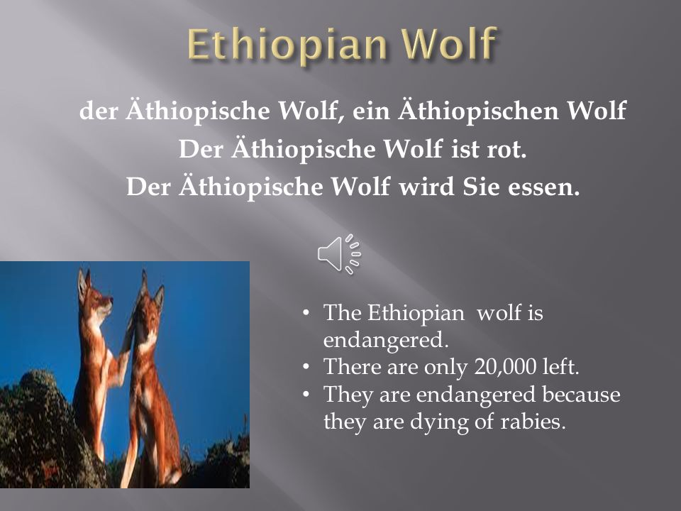 Ethiopian Wolf der Äthiopische Wolf, ein Äthiopischen Wolf