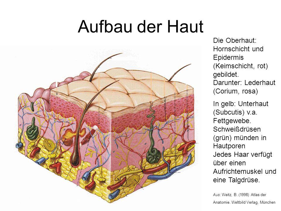 Aufbau der Haut Die Oberhaut: Hornschicht und Epidermis (Keimschicht, rot) gebildet. Darunter: Lederhaut (Corium, rosa)