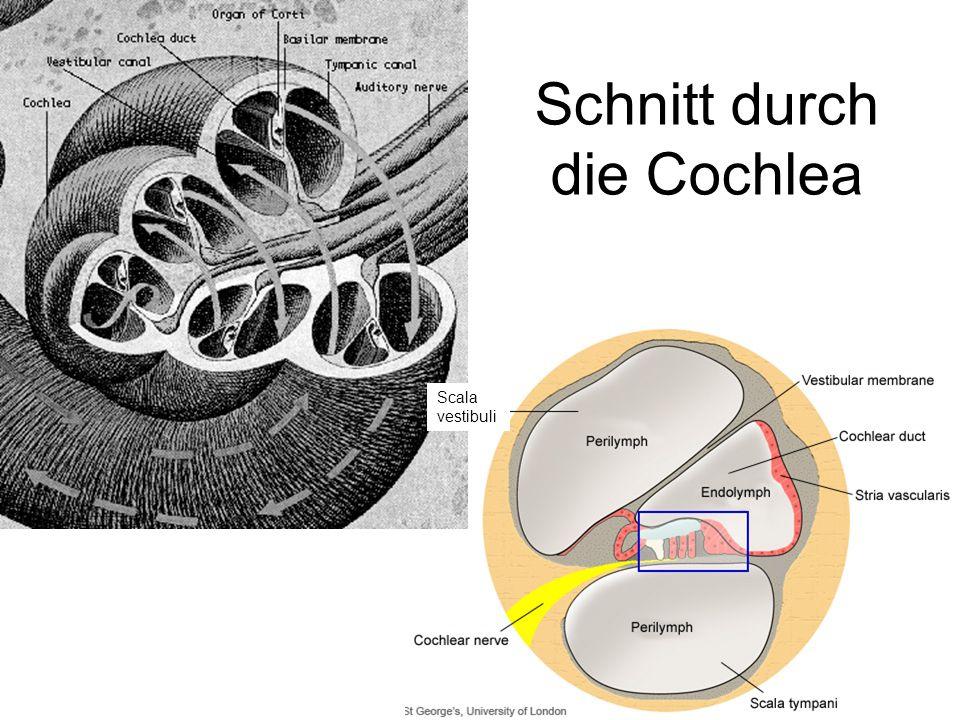 Schnitt durch die Cochlea