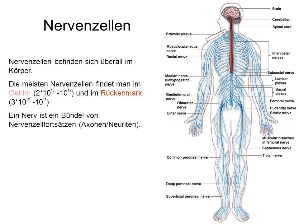 Nervenzellen Nervenzellen befinden sich überall im Körper.