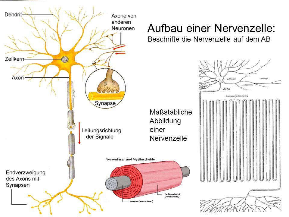 Aufbau einer Nervenzelle: Beschrifte die Nervenzelle auf dem AB