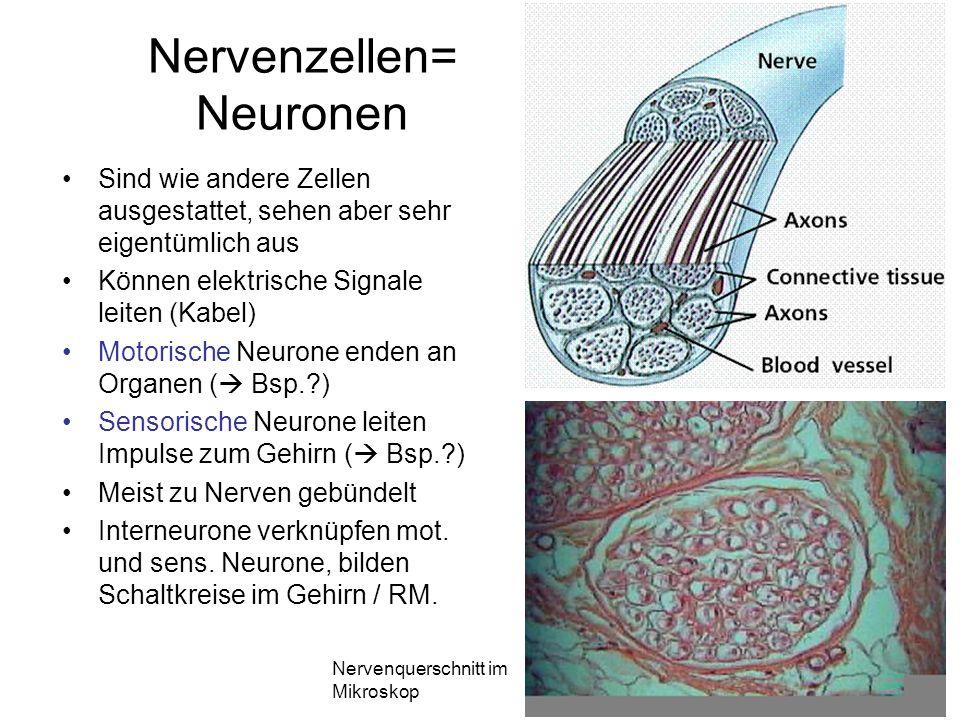 Nervenzellen= Neuronen