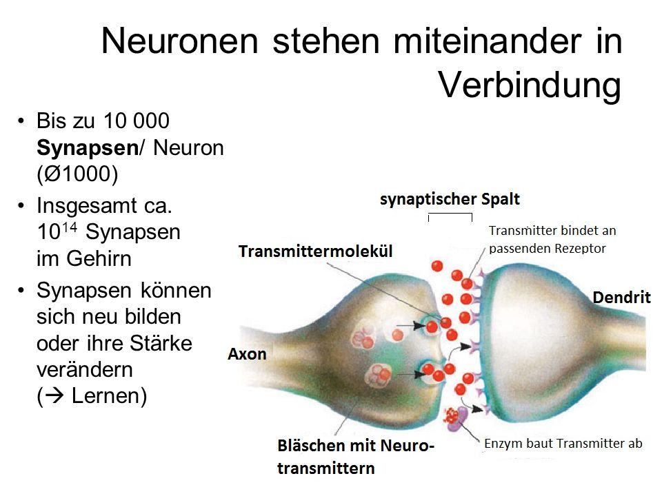Neuronen stehen miteinander in Verbindung