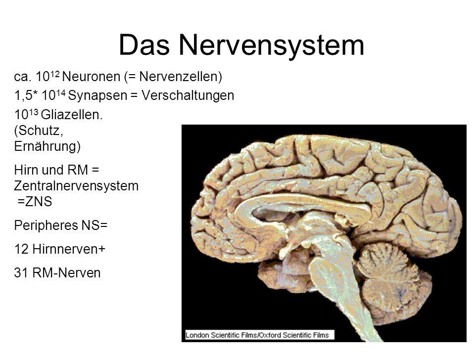 Das Nervensystem ca. 1012 Neuronen (= Nervenzellen)