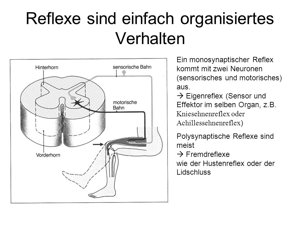 Reflexe sind einfach organisiertes Verhalten