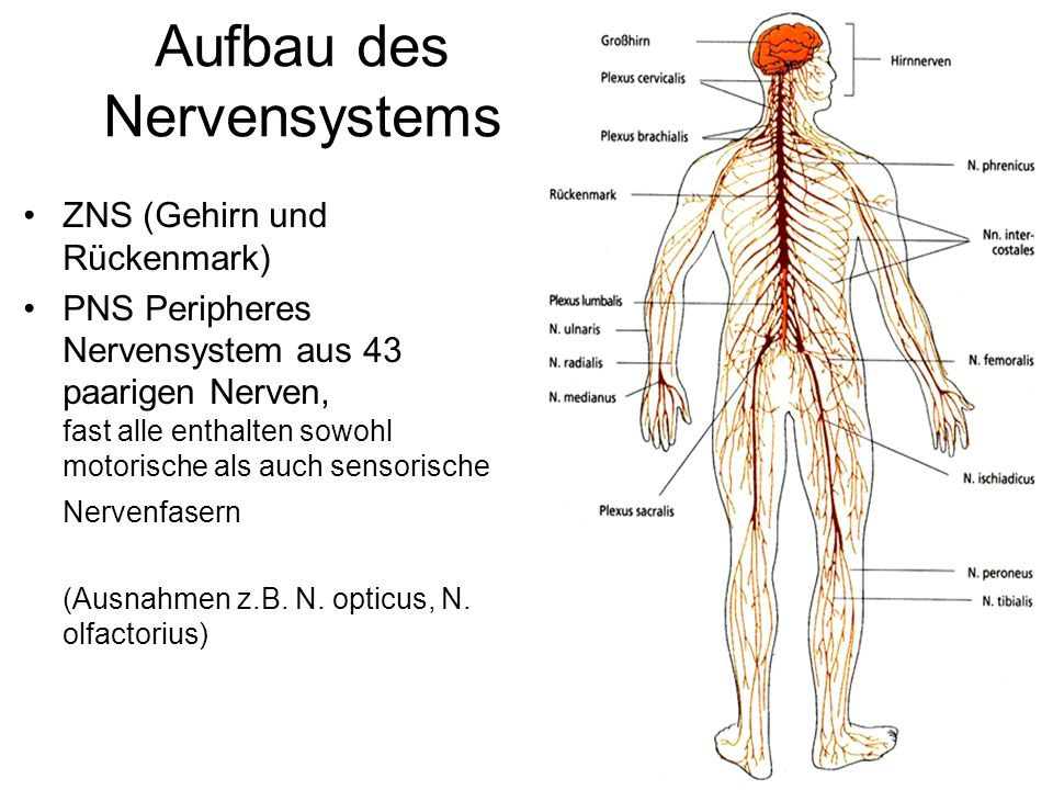 Aufbau des Nervensystems