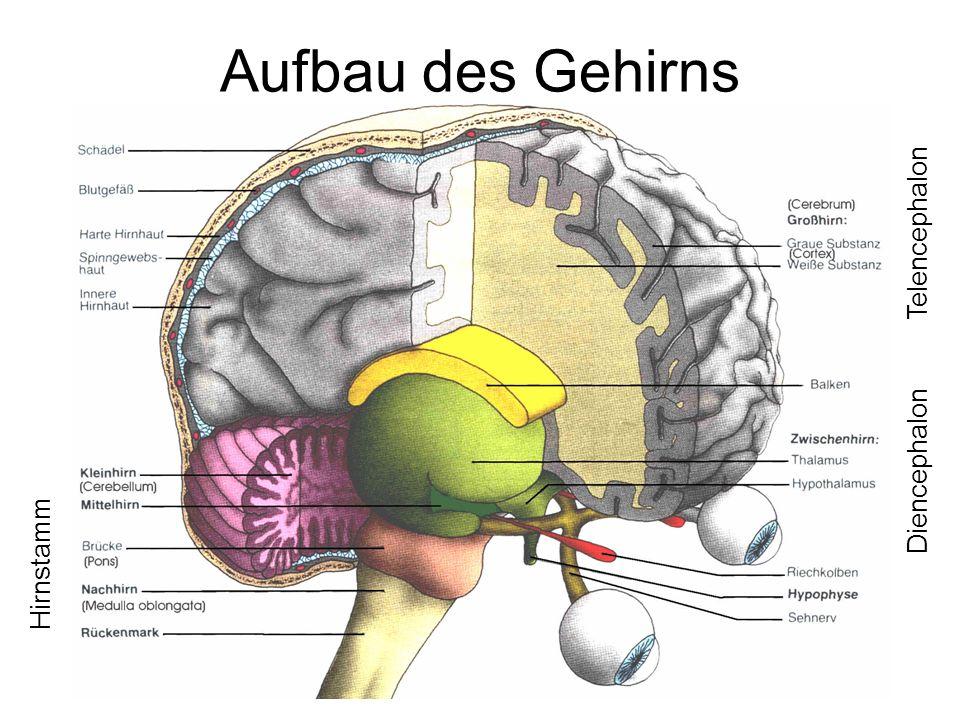 Aufbau des Gehirns Telencephalon Diencephalon Hirnstamm