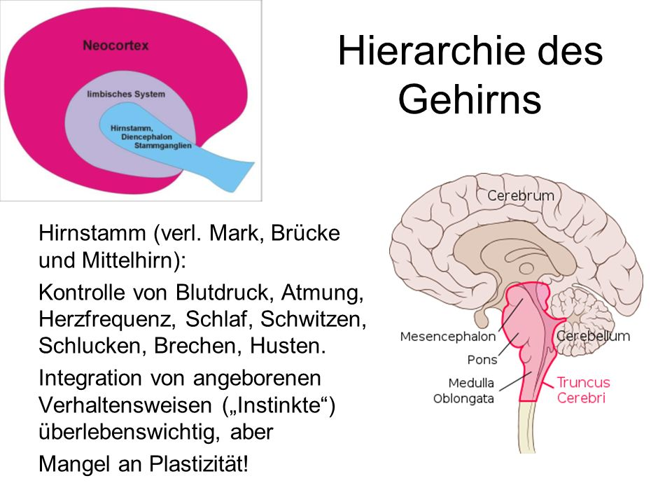 Hierarchie des Gehirns