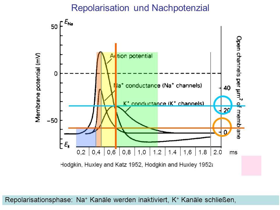 Repolarisation und Nachpotenzial