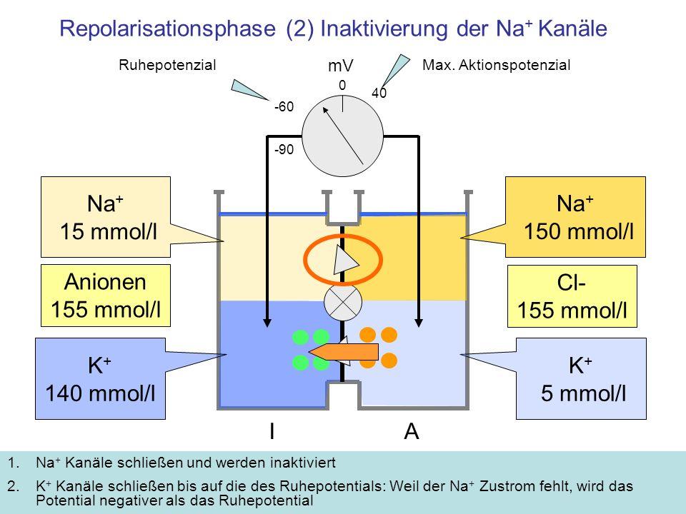 Repolarisationsphase (2) Inaktivierung der Na+ Kanäle