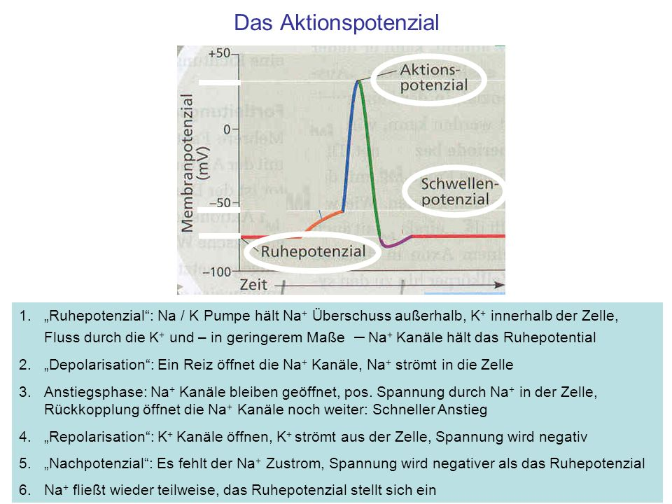 Das Aktionspotenzial