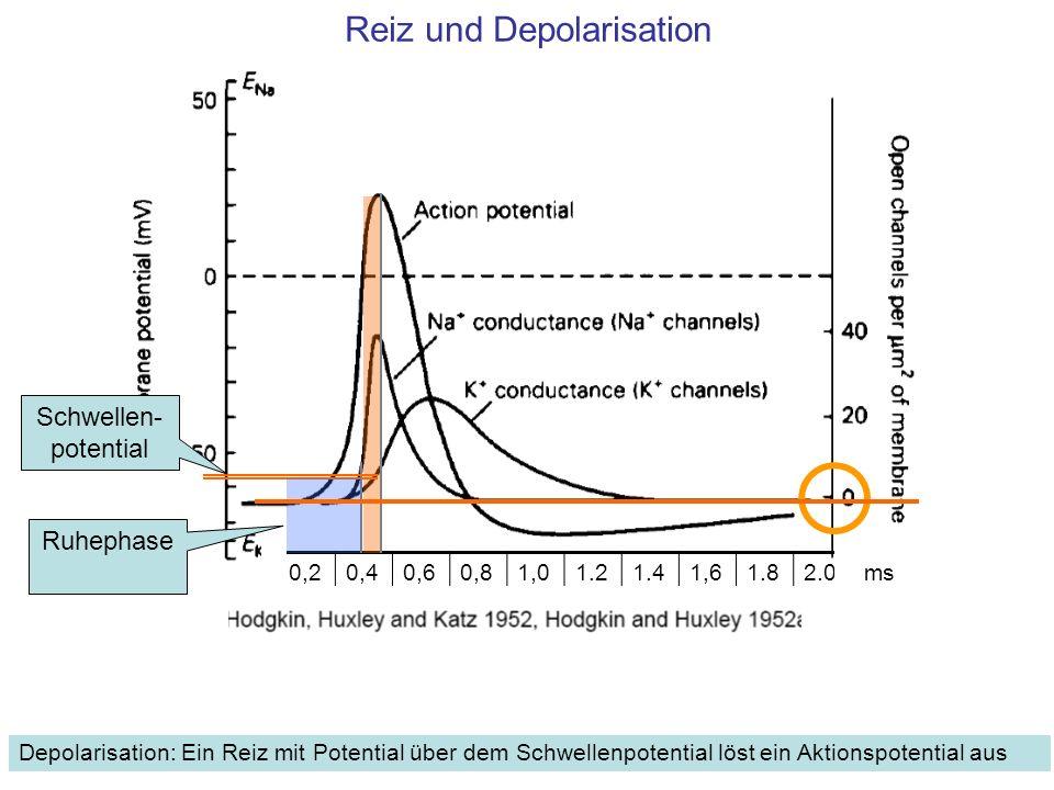 Reiz und Depolarisation