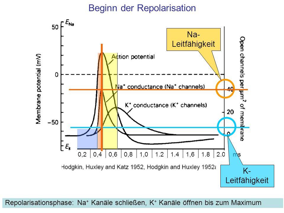 Beginn der Repolarisation