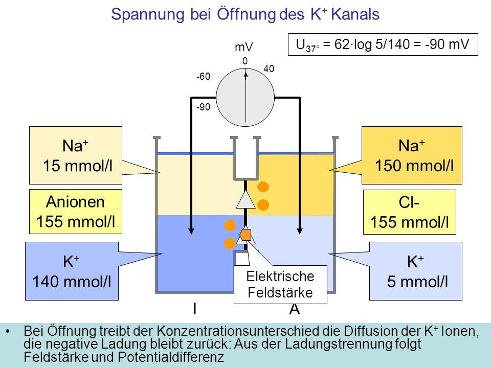 Spannung bei Öffnung des K+ Kanals