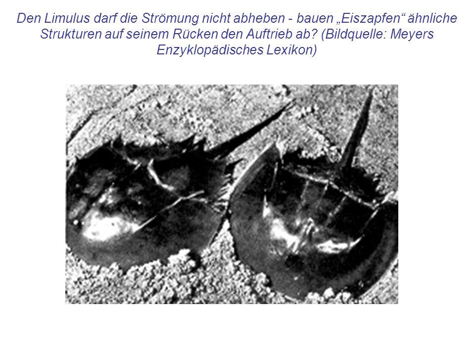 """Den Limulus darf die Strömung nicht abheben - bauen """"Eiszapfen ähnliche Strukturen auf seinem Rücken den Auftrieb ab."""