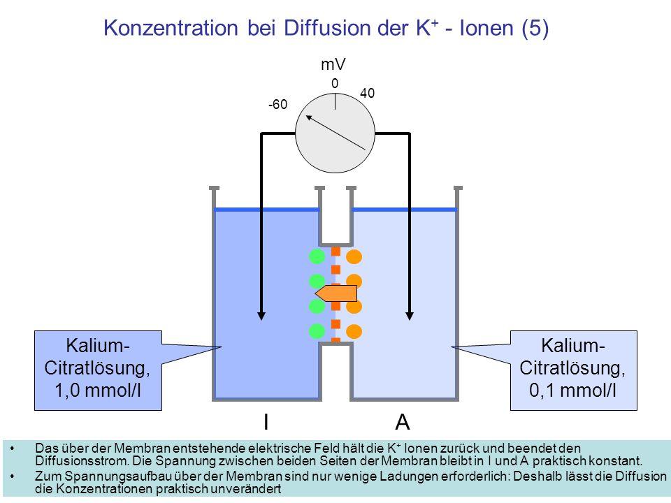 Konzentration bei Diffusion der K+ - Ionen (5)