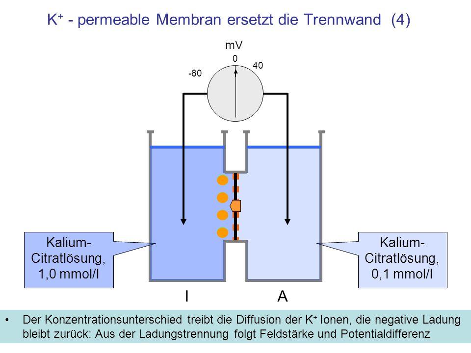K+ - permeable Membran ersetzt die Trennwand (4)