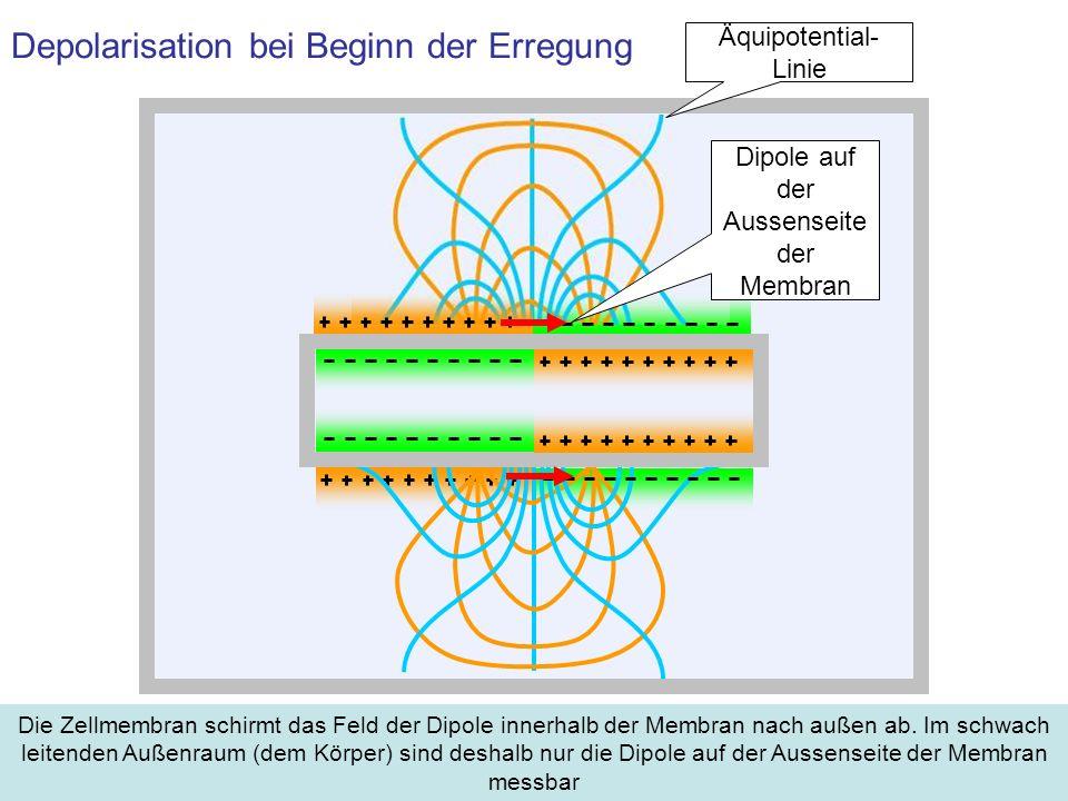 Depolarisation bei Beginn der Erregung