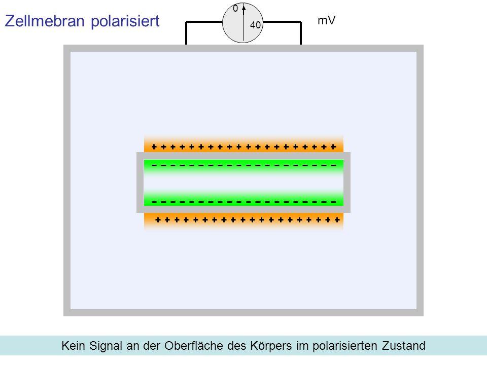 Zellmebran polarisiert