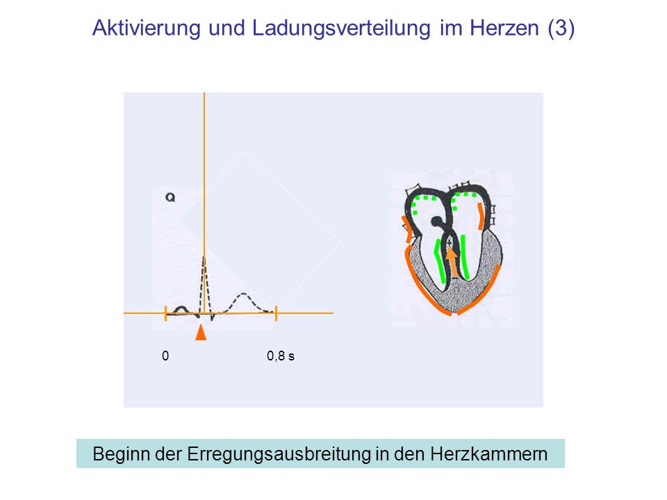 Aktivierung und Ladungsverteilung im Herzen (3)