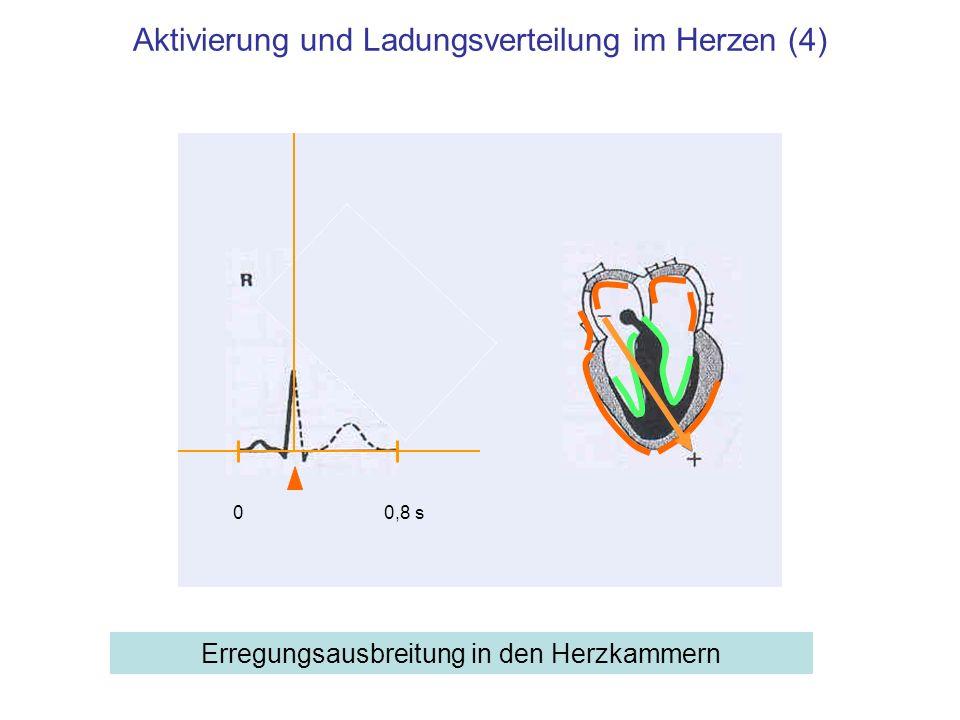 Aktivierung und Ladungsverteilung im Herzen (4)