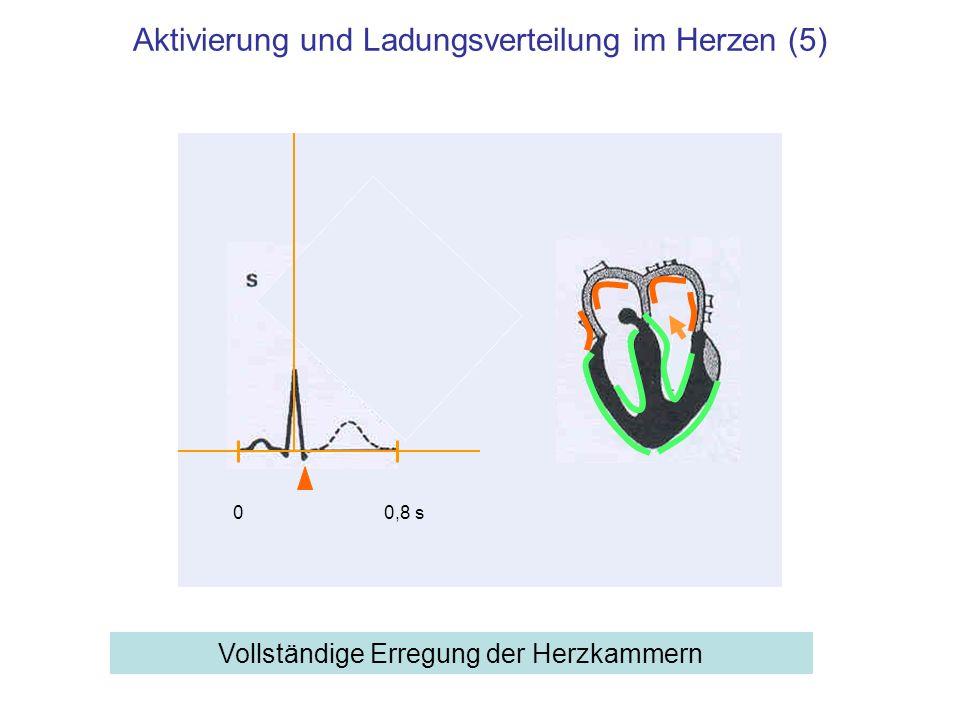 Aktivierung und Ladungsverteilung im Herzen (5)