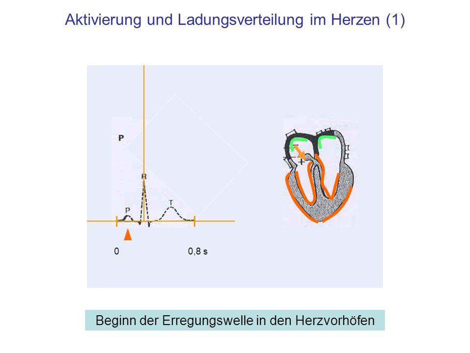 Aktivierung und Ladungsverteilung im Herzen (1)