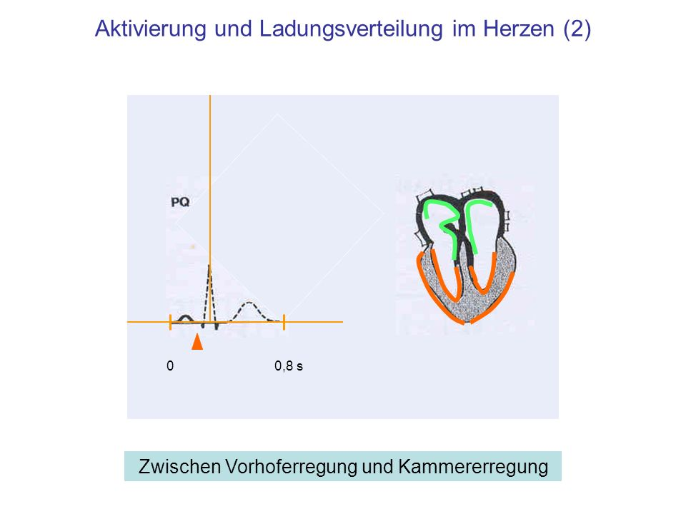 Aktivierung und Ladungsverteilung im Herzen (2)
