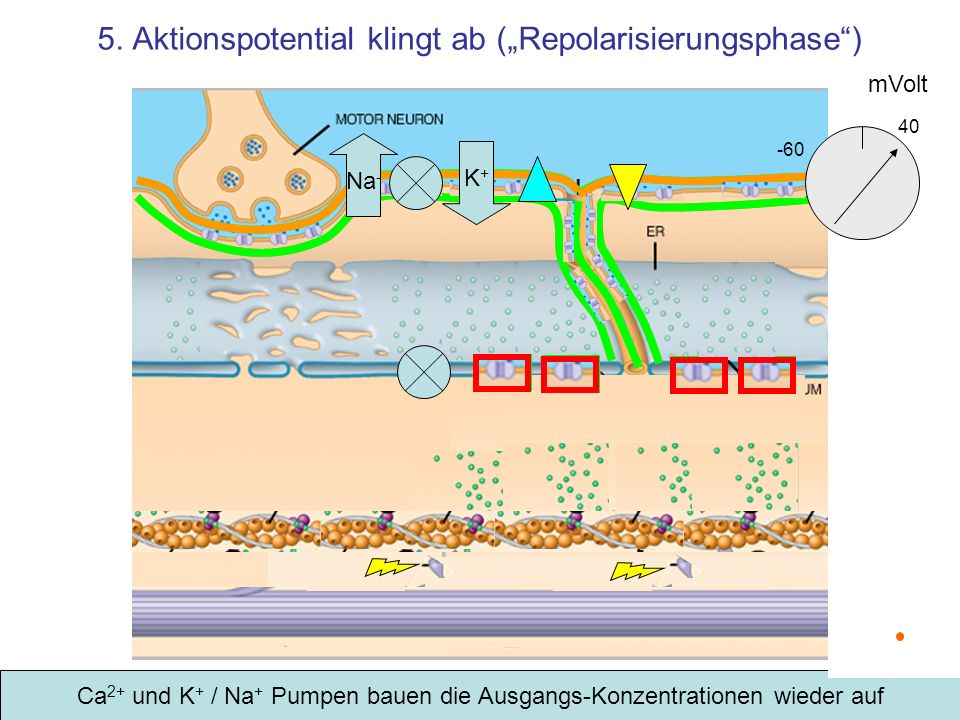 "5. Aktionspotential klingt ab (""Repolarisierungsphase )"
