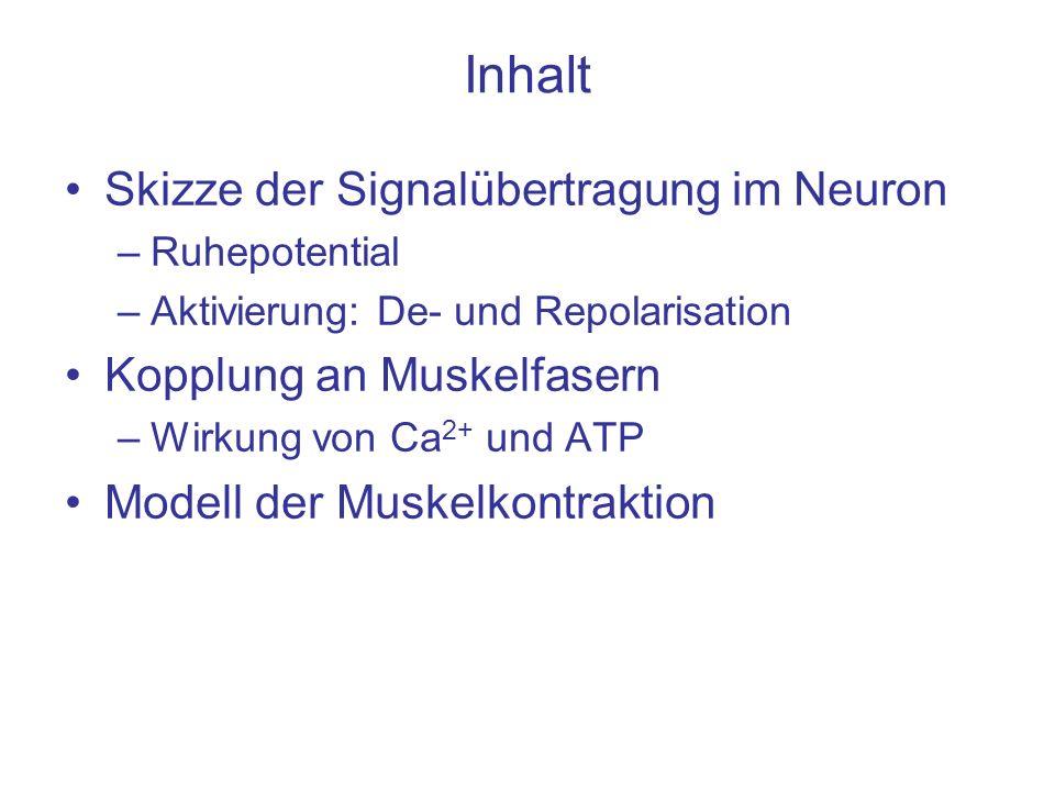 Inhalt Skizze der Signalübertragung im Neuron Kopplung an Muskelfasern
