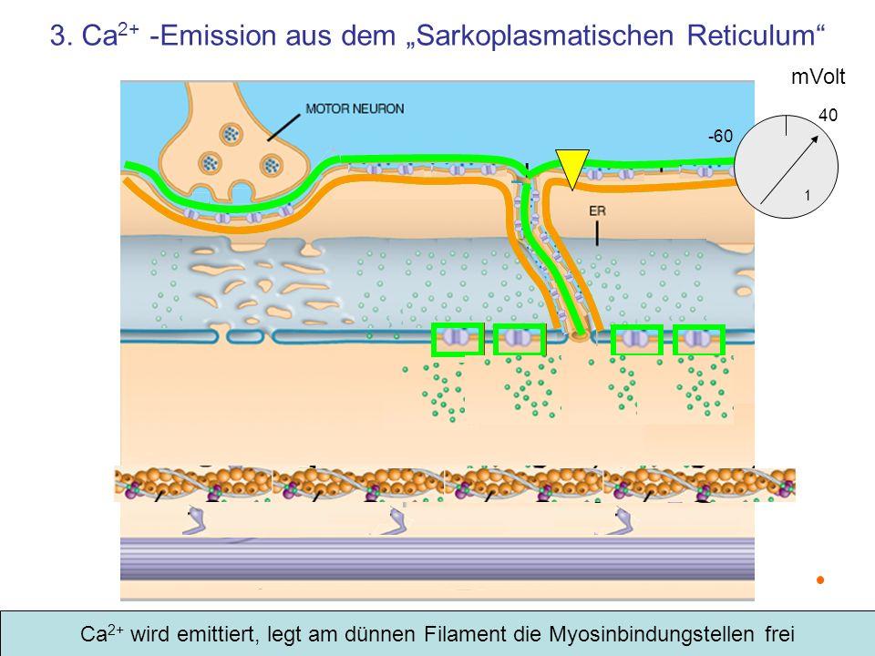 """3. Ca2+ -Emission aus dem """"Sarkoplasmatischen Reticulum"""