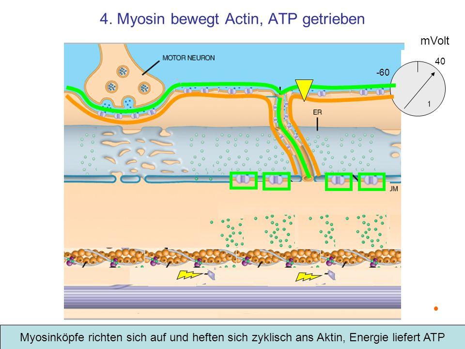 4. Myosin bewegt Actin, ATP getrieben