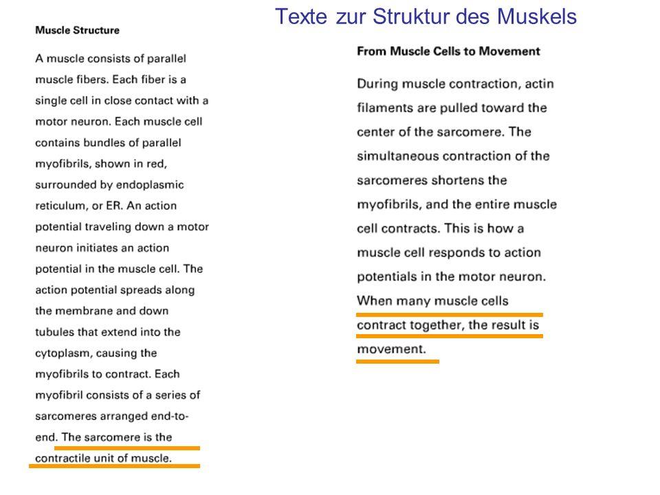 Texte zur Struktur des Muskels