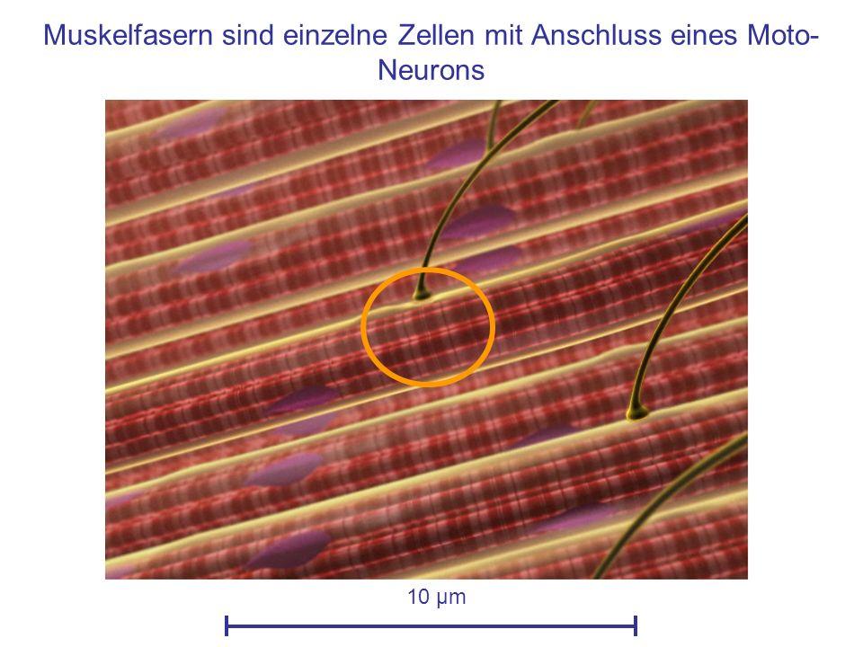 Muskelfasern sind einzelne Zellen mit Anschluss eines Moto-Neurons